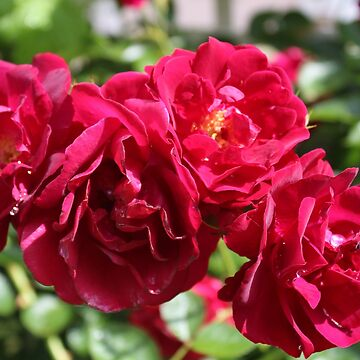 Red Red Rose by RosevineCottage
