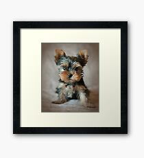Cute puppy of the Yorkshire Terrier Framed Print