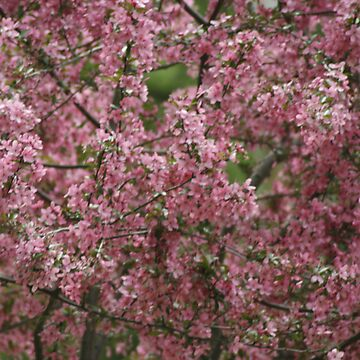 Blossoms by Dmargie