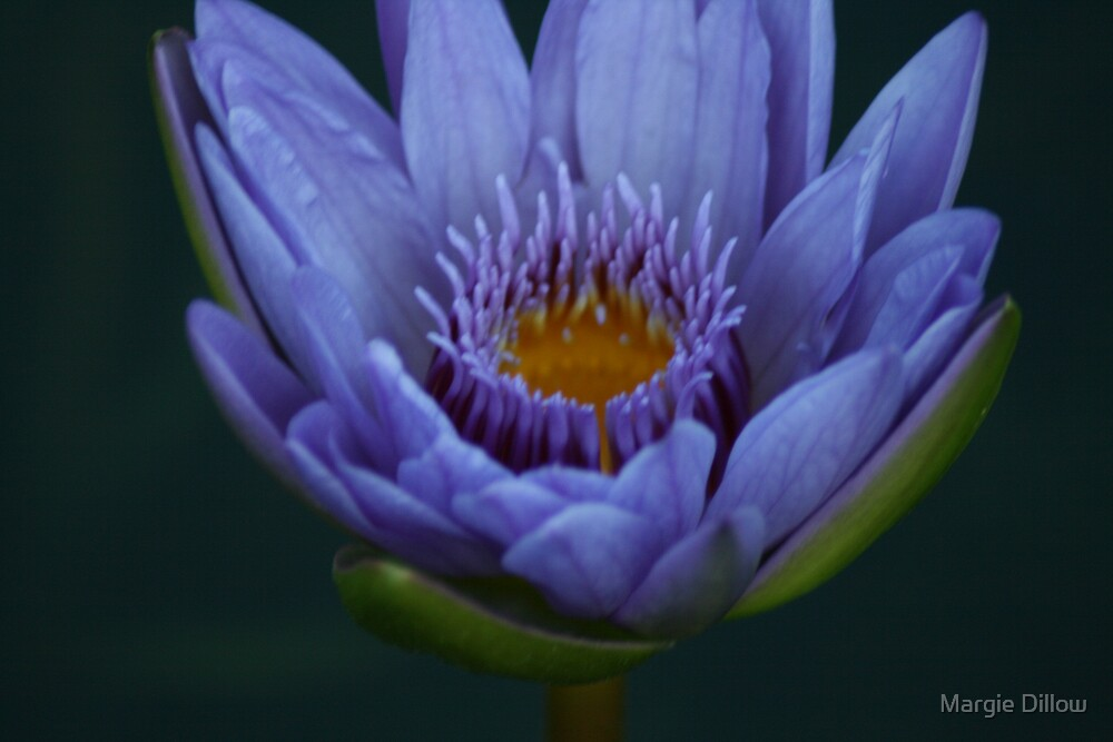 Water Lily by Margie Dillow