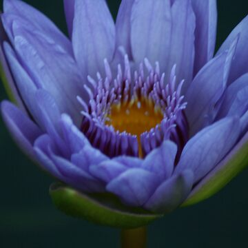 Water Lily by Dmargie