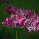 Pink Tulip by Sarah McKoy