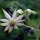 Flannel Flower #2 by Bette Devine