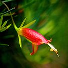 Eremophila oldfieldii. by Bette Devine