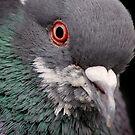 Pigeon Portrait by Dan Jesperson