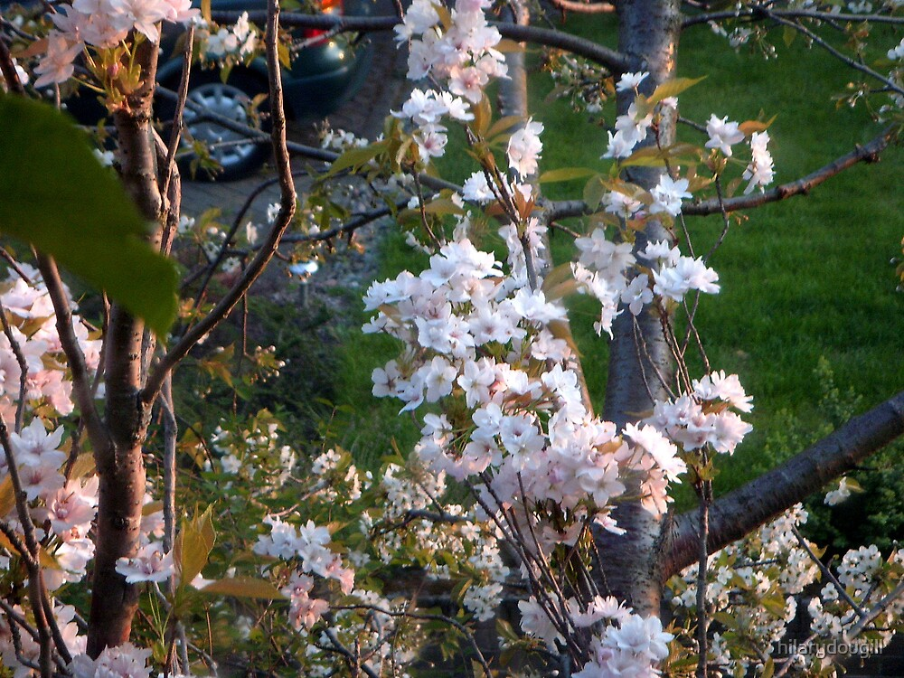 Cherry blossom in evening light by hilarydougill