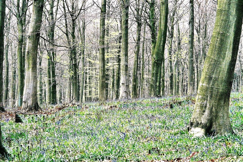 Bluebell wood. by hilarydougill