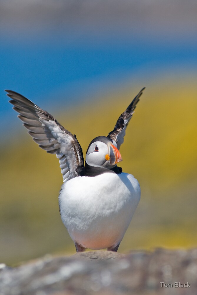 Puffin(g) by Tom Black