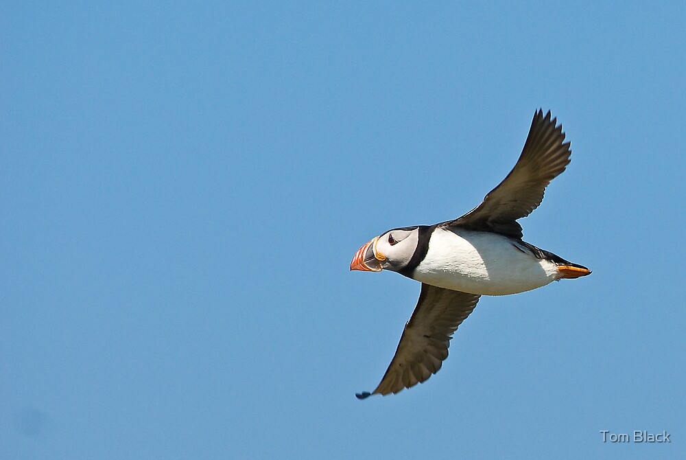 Puffin by Tom Black