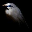 Bali Starling by Alan Rodmell