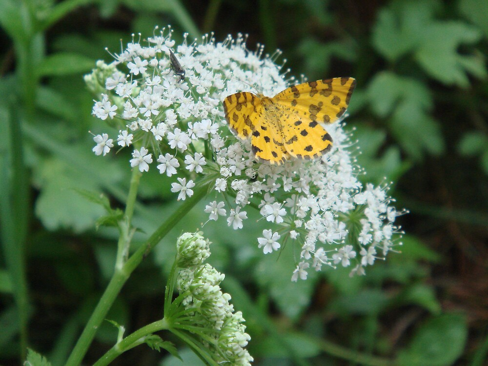 Butterfly in Austria by Edelweiss