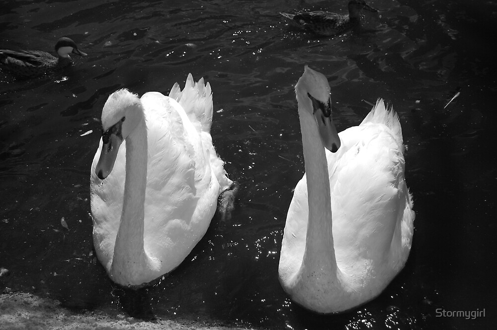 Swans in black and white by Stormygirl
