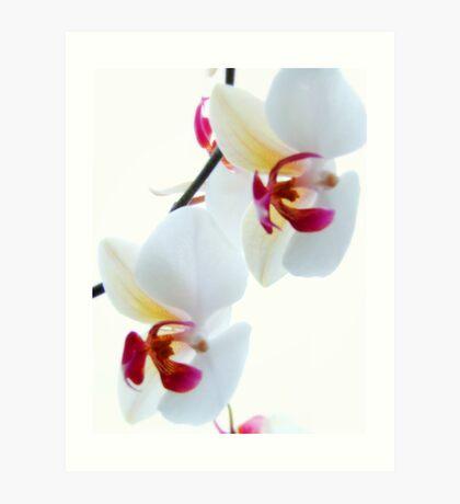 White Orchid No1 Art Print