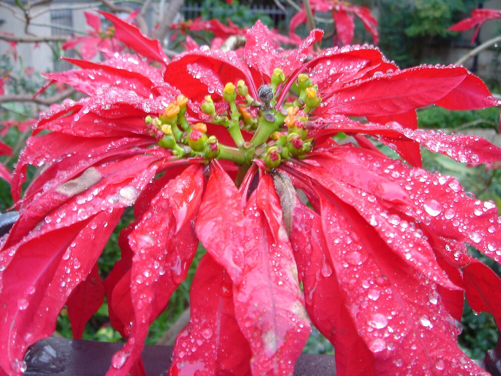 Weihnachtsstern by Edelweiss