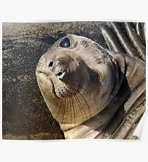 Northern  Elephant Seal pup Poster