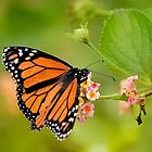 Butterfly beauty 9898 by kevin chippindall