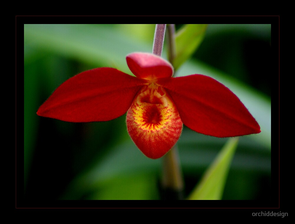 Orchid IV by orchiddesign