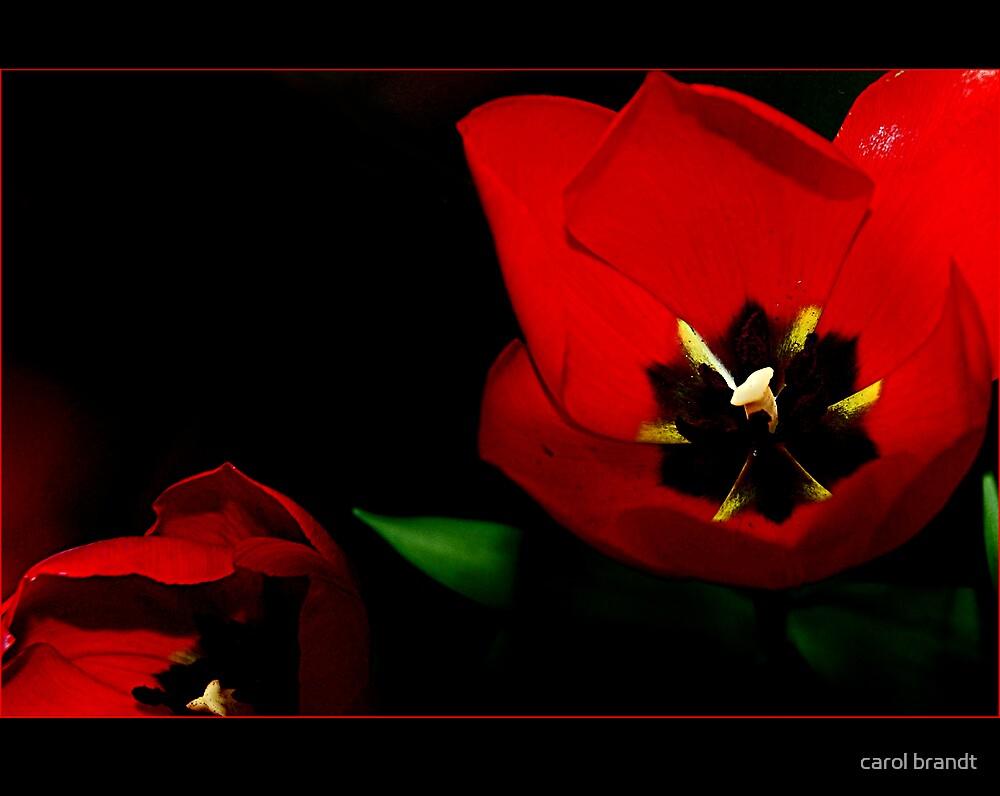 red tulip by carol brandt