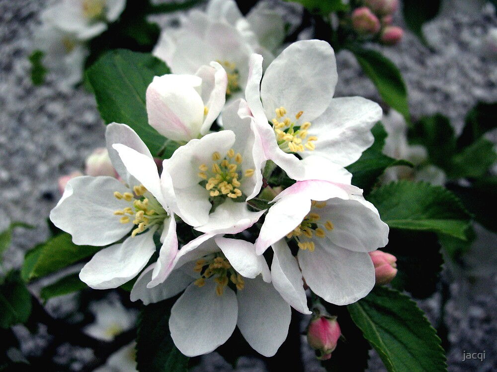 Apple Blossom Cluster by jacqi