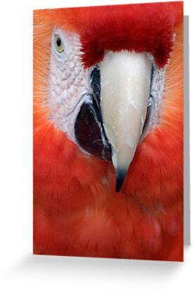Scarlet Macaw Parrot, Ara macao by Eyal Nahmias