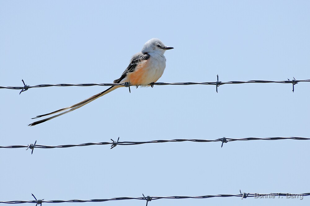 Scissor tailed Flycatcher  by Bonnie T.  Barry