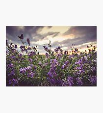 Alfalfa Photographic Print