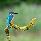 Kingfisher  by M S Photography/Art
