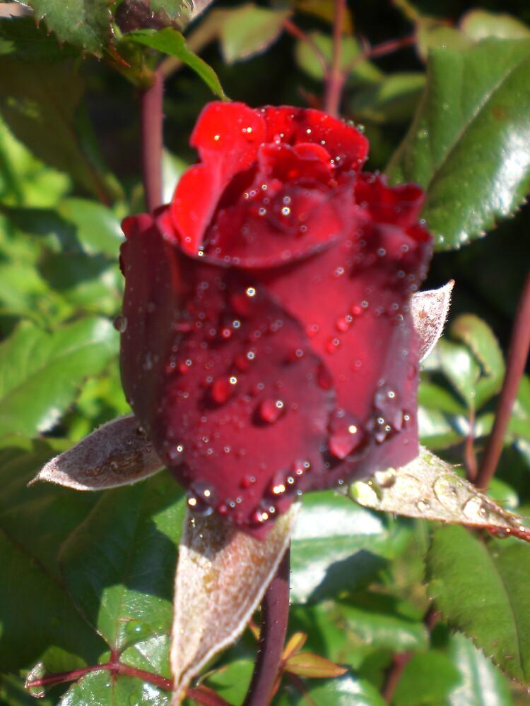 rose4 by Ellaine Walker