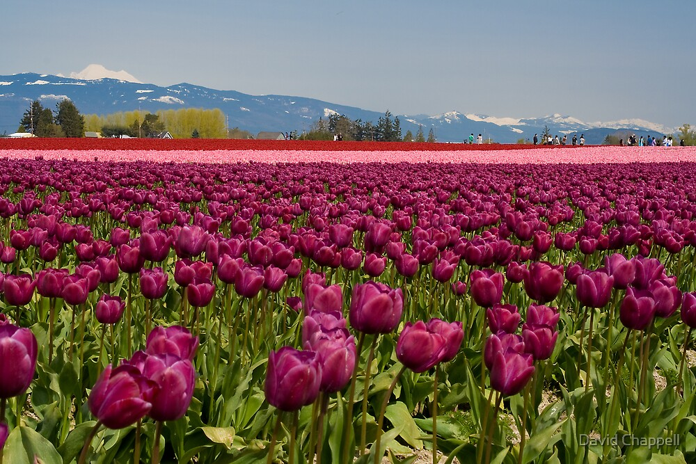 Tulips and Mountains by David Chappell