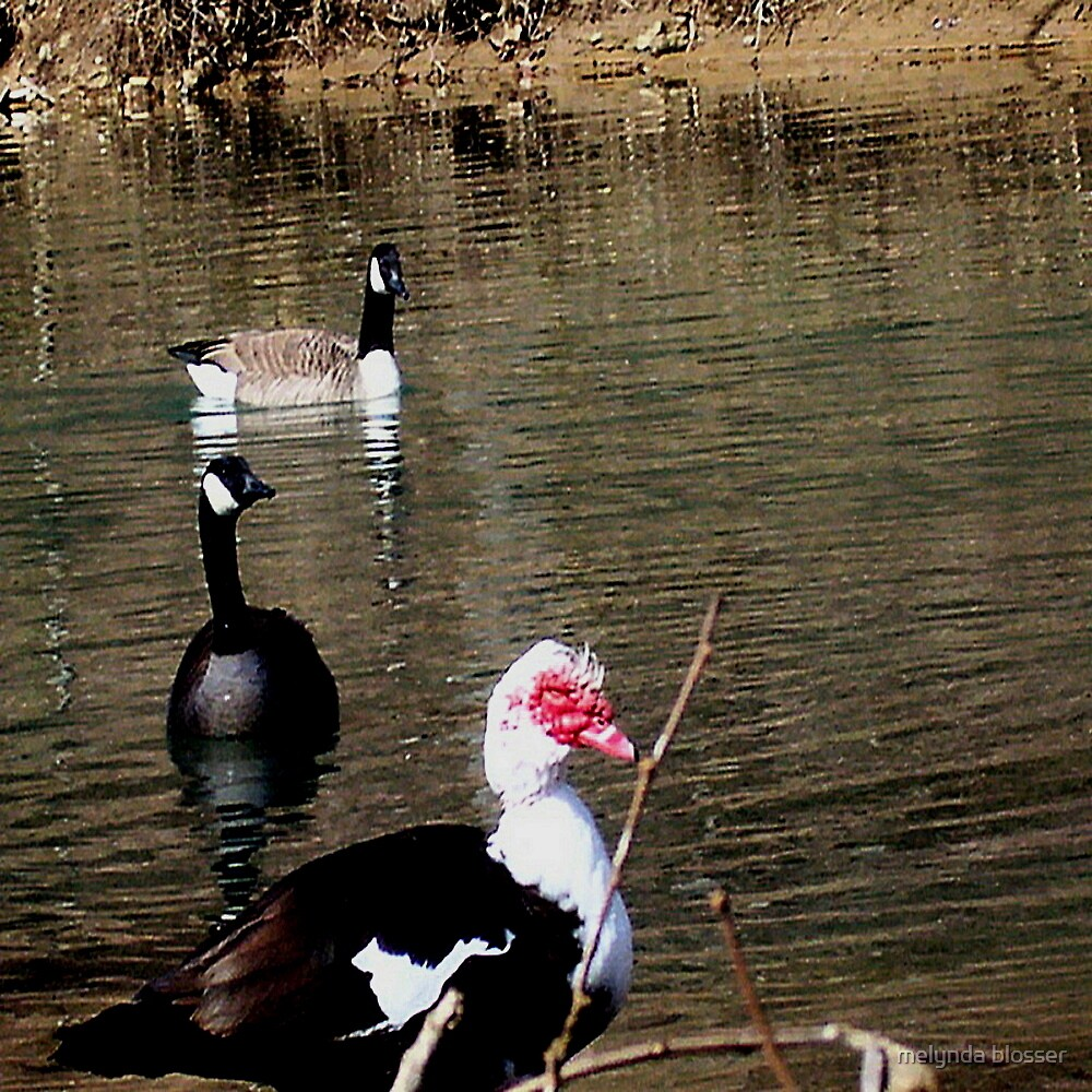 geese and Muscovy by melynda blosser