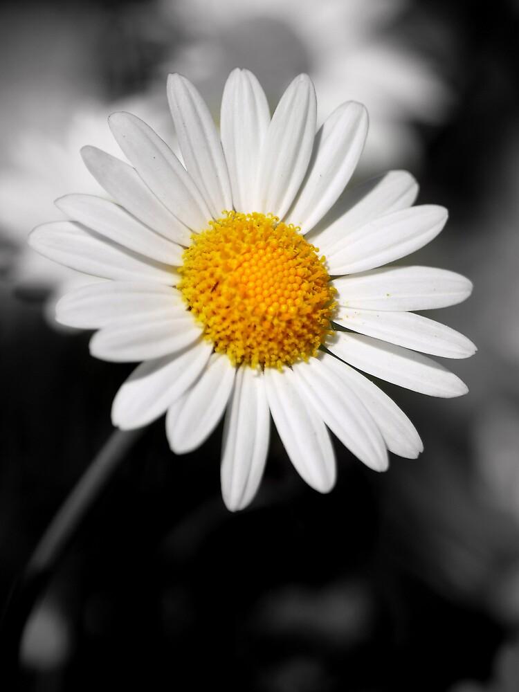 Daisy by Carole Rogers