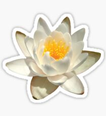 White Water Lily From The Lake Sticker