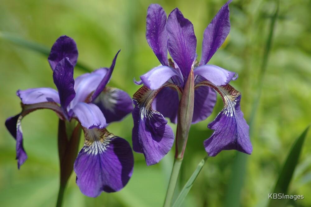 Purple by KBSImages
