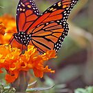 Monarch Butterfly And Marigold Flower by kkphoto1