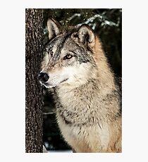 Grey Wolf Photographic Print