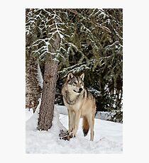 Majestic Wolf Photographic Print
