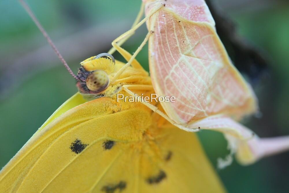 Yellow Beauty by PrairieRose
