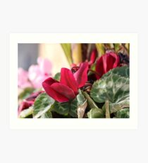 Cyclamen flowers closeup Art Print