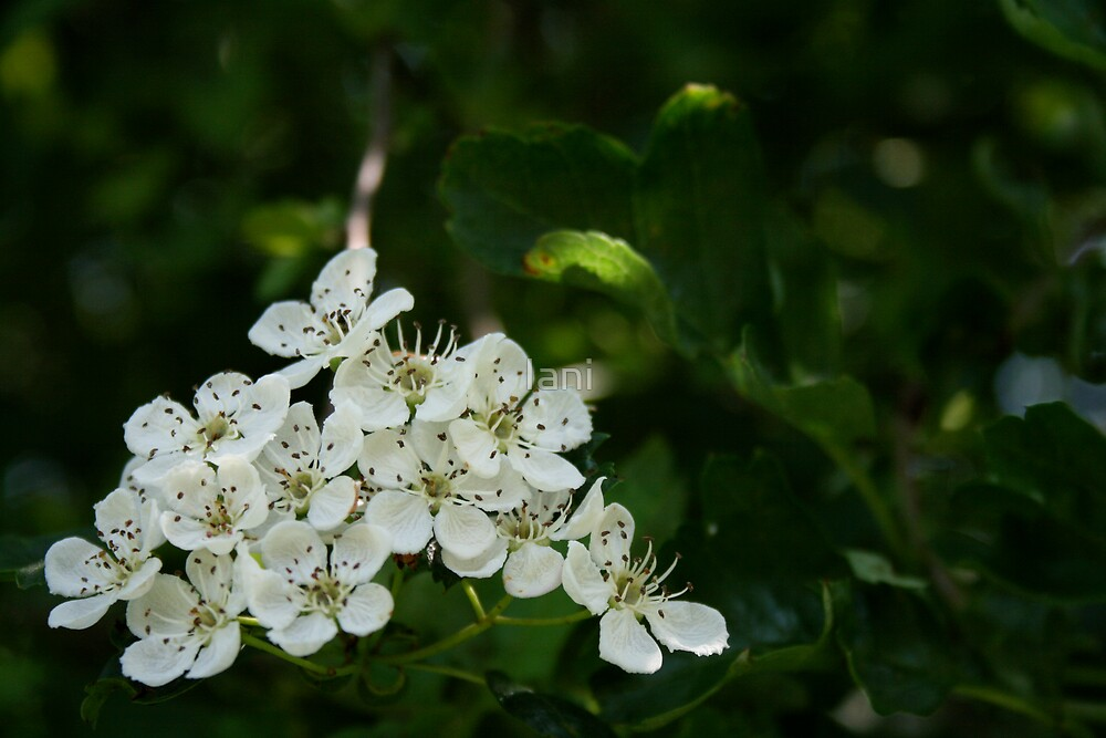 White Flowers by Iani