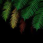 Ferntrees.....Daintree National Park by Imi Koetz