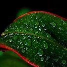 Raindrops.....Daintree National Park by Imi Koetz