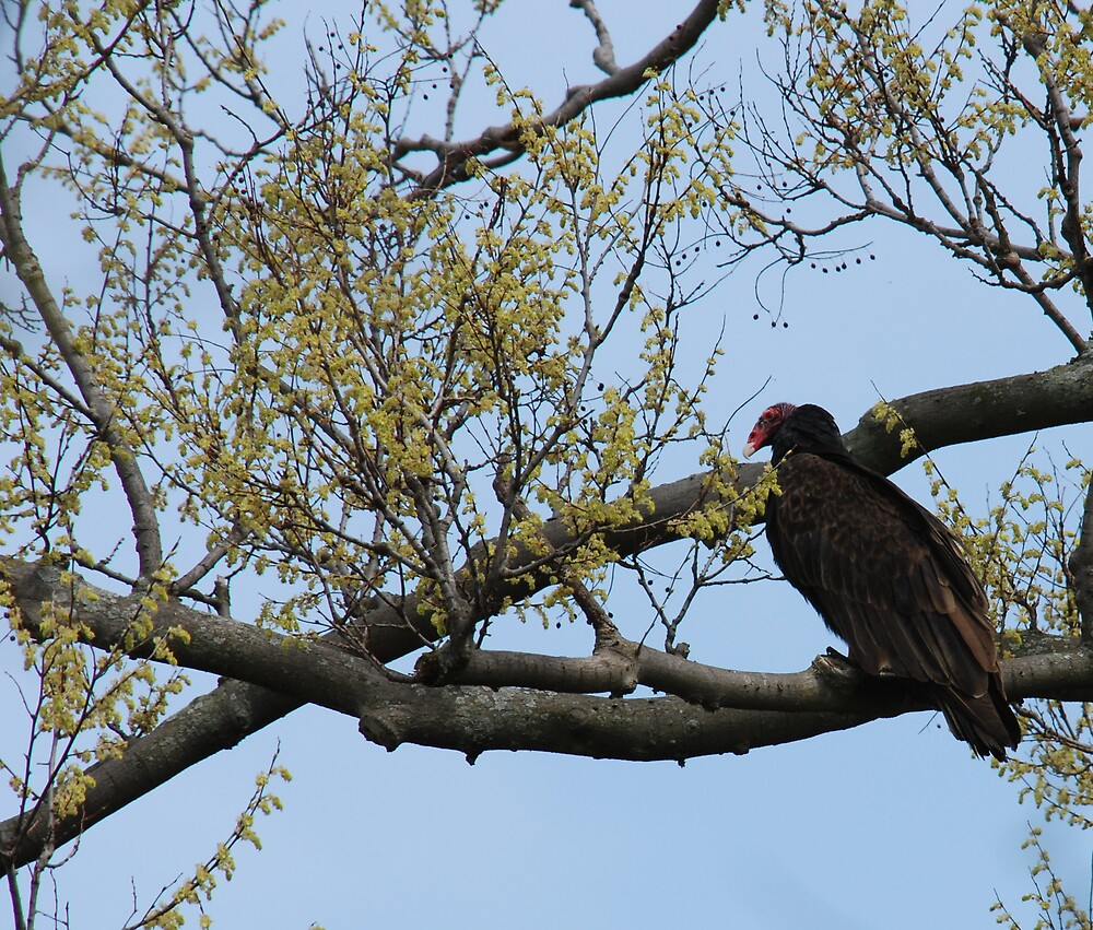 Turkey Vulture by bertspix