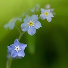 Forget Me Not by Amy Collinson