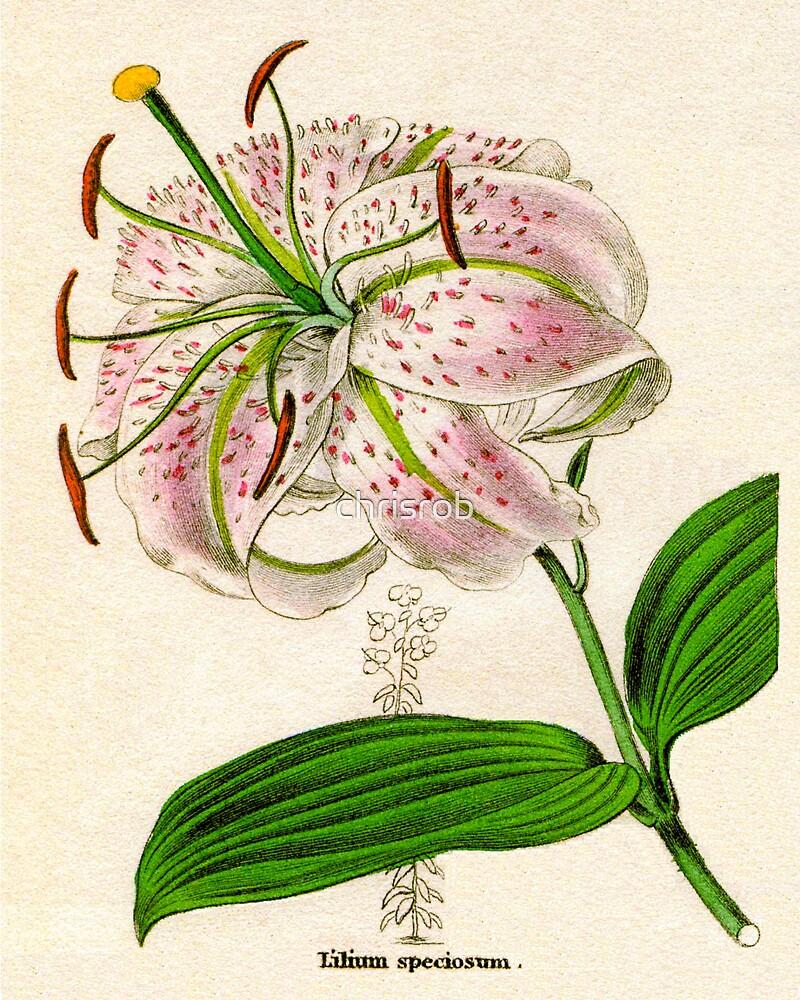 Lilium speciosum punctatum or Spotted-flowered Lily by chrisrob