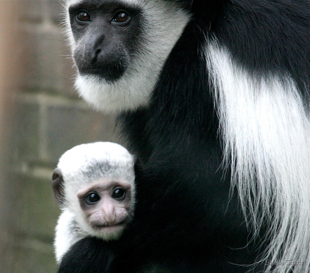 Eastern Colobus Monkey and Baby  by Sheila Smith