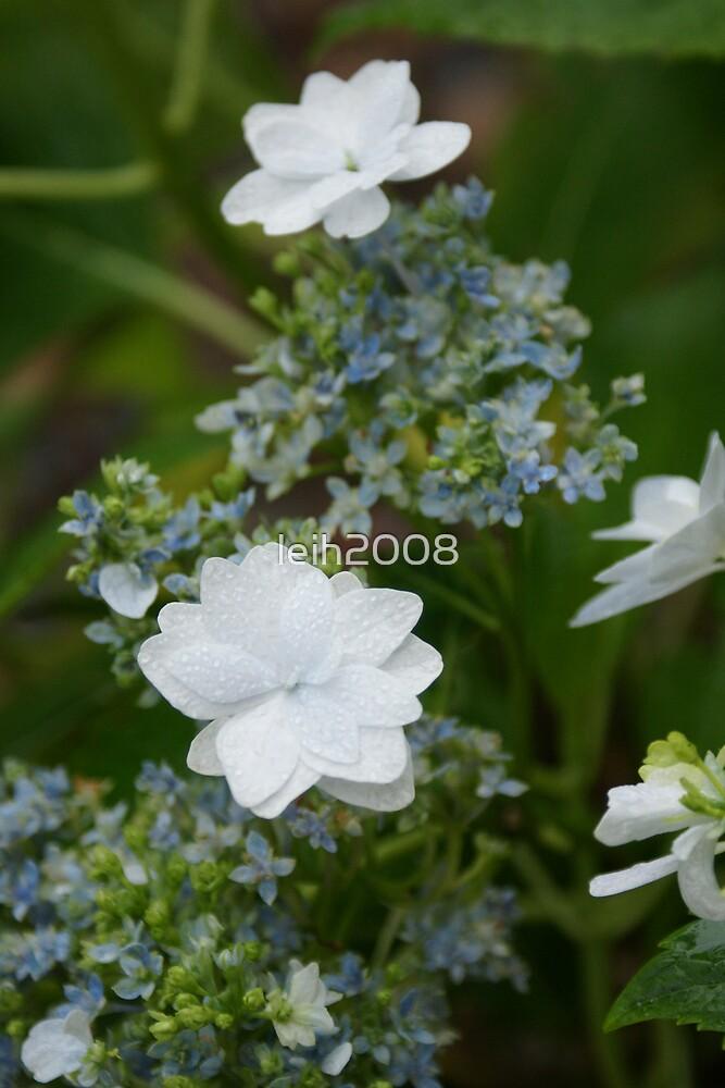 Lacecap Hydrangeas in the dew - La Mirada, CA by leih2008