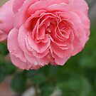 Hope for a new day!  Refreshed in pink!  Rose gets a drink in the dew! Hope in pink!   La Mirada, CA by leih2008
