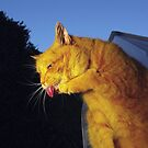Ginger cat licking paw by turniptowers
