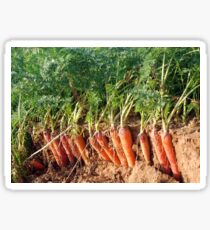 Ripe carrots Sticker