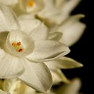 Narcissus by Faith Barker Photography
